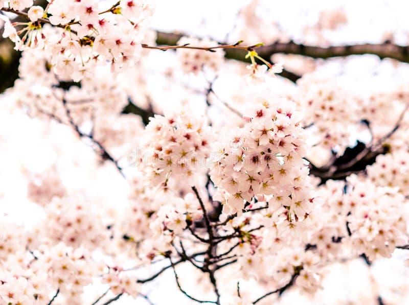 Sakura eller k?rsb?rsr?d blomning i Japan royaltyfria foton