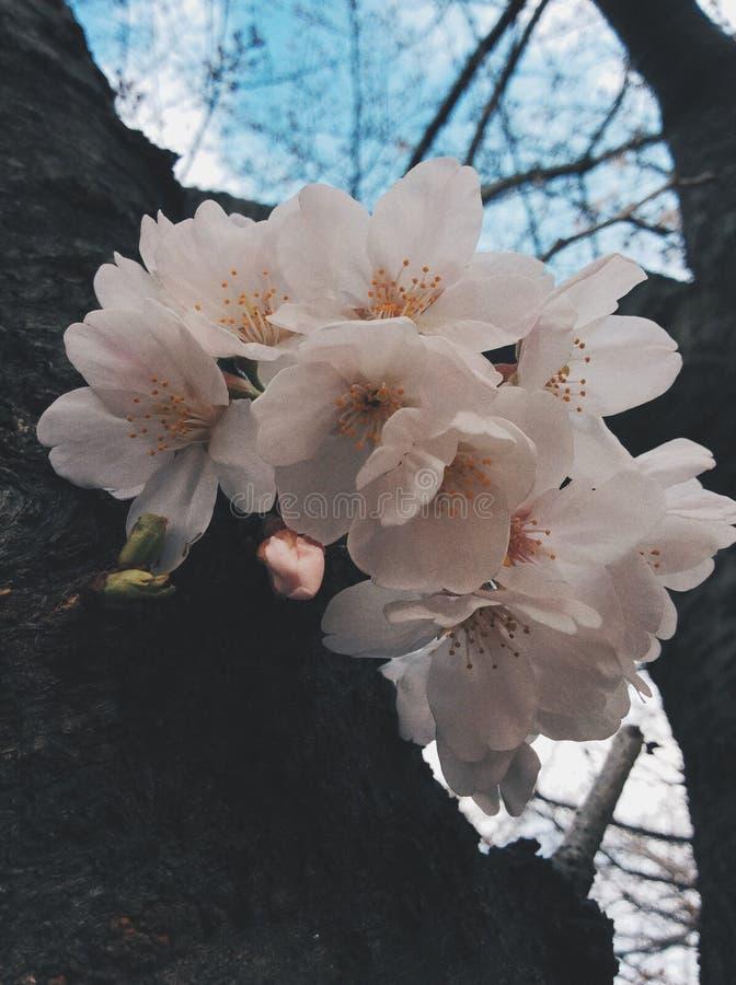 Sakura em japão imagem de stock