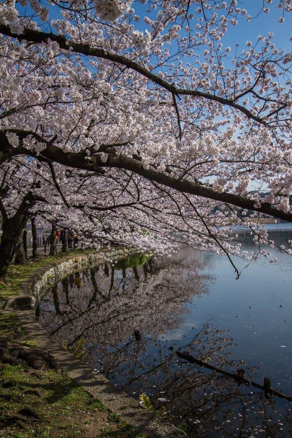 Sakura en el parque de Ueno imagenes de archivo