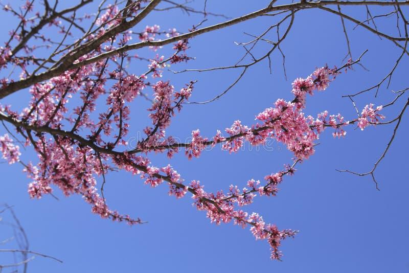Sakura en Israël photo libre de droits
