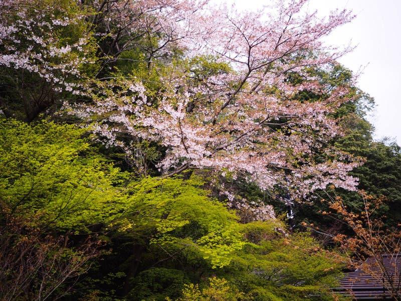 Sakura för körsbärsröd blomning träd och grönt lönnträd arkivbild