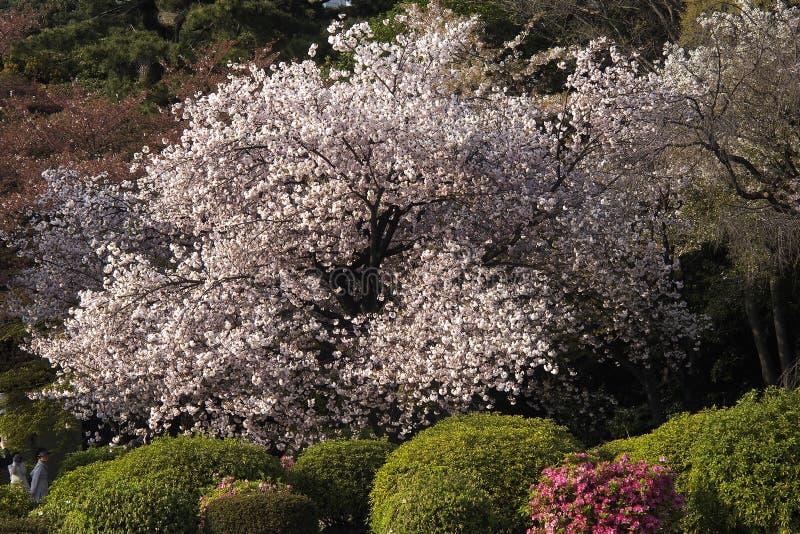 Sakura Festival in Japan stock image
