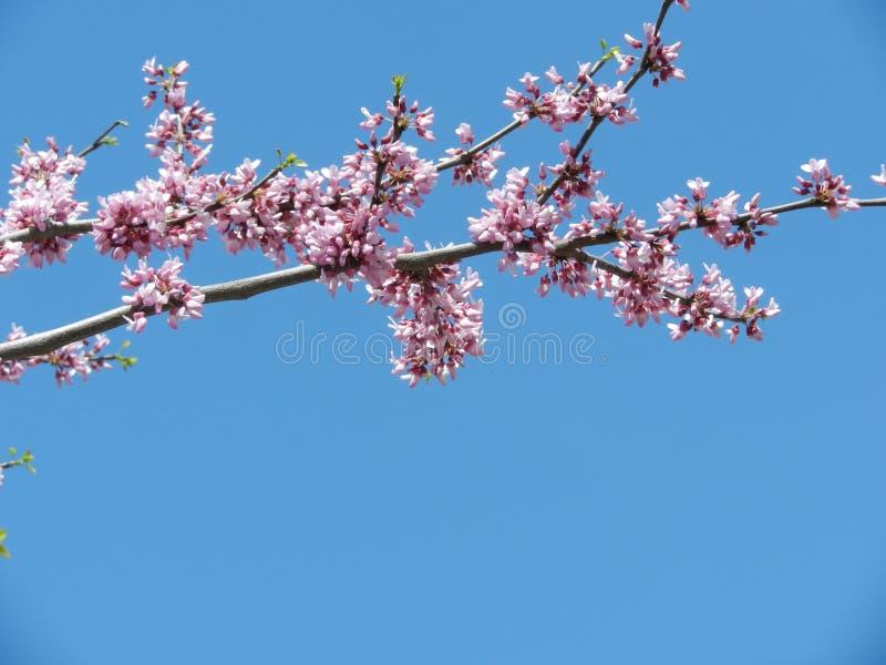 Sakura filial mot den blåa himlen royaltyfria bilder
