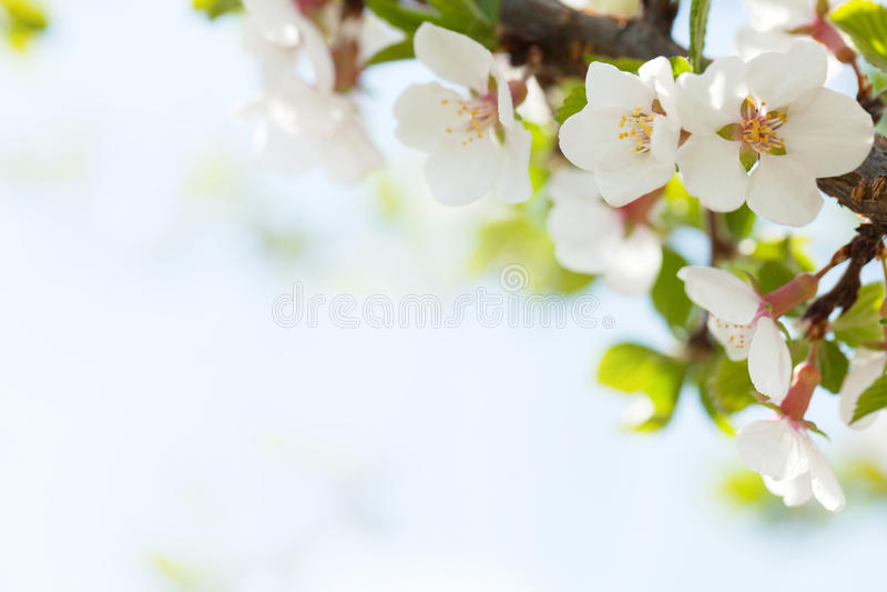 Sakura, fiore di ciliegia fotografie stock libere da diritti