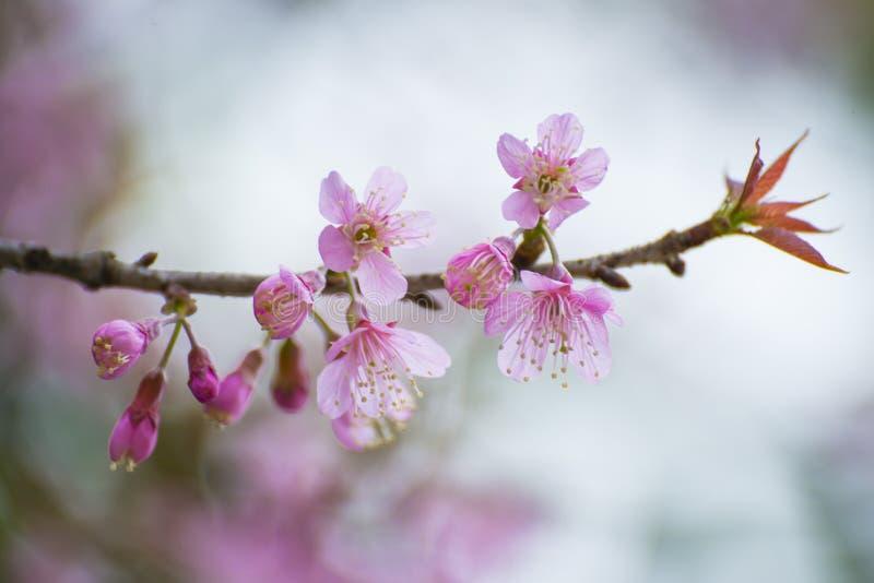 Sakura, fiore di ciliegia tailandese in giardino fotografie stock libere da diritti