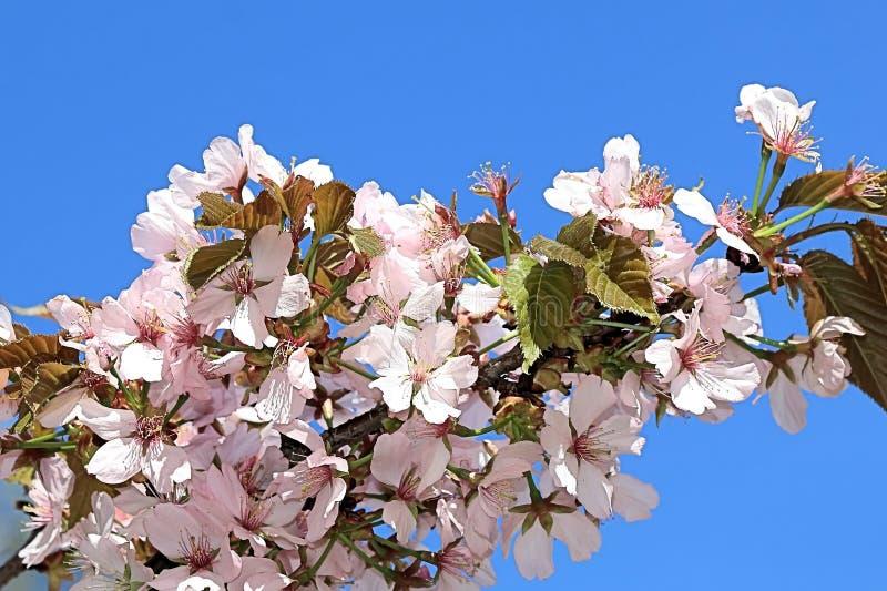 Sakura fleurit contre le ciel bleu photographie stock