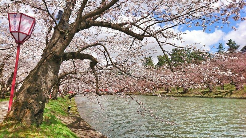 Sakura flod royaltyfria foton
