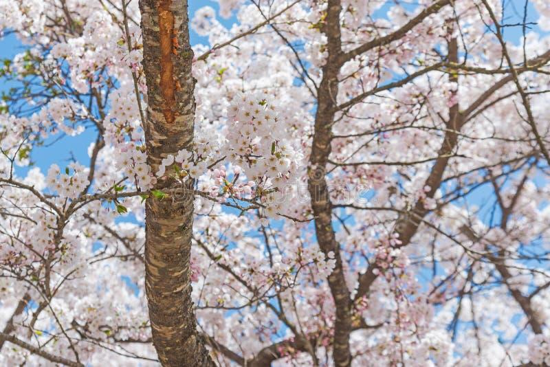 Sakura, flor blanco en Japón fotografía de archivo