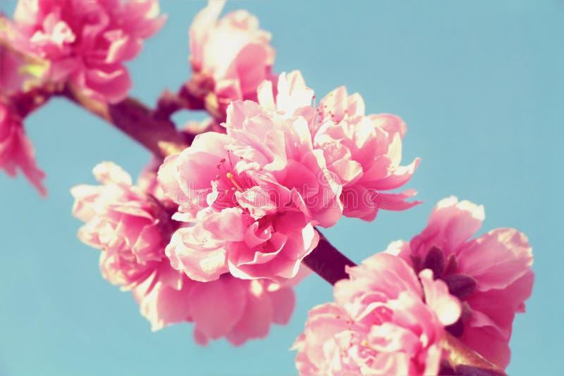 Sakura, flor de cerejeira cor-de-rosa no céu azul foto de stock royalty free