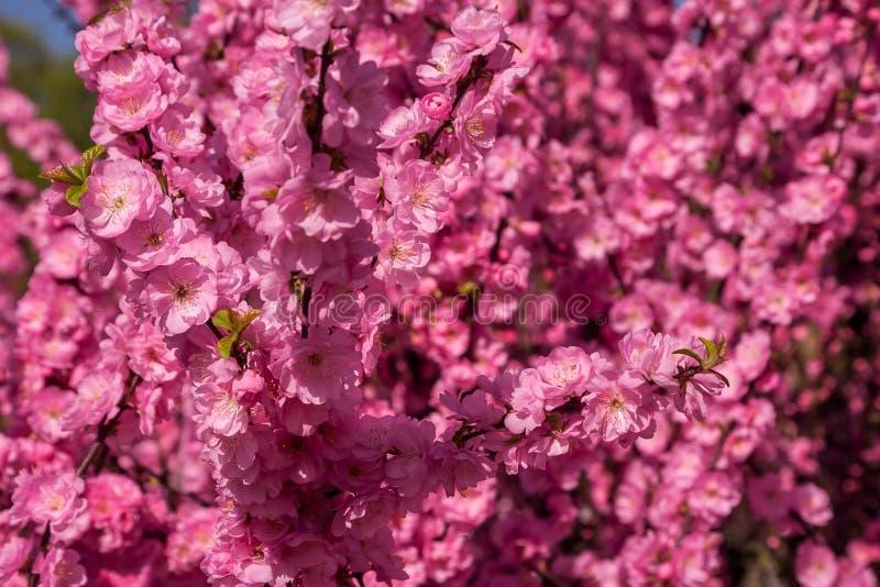 Sakura, flor de cerezo, cerezo con las flores Cherr oriental foto de archivo