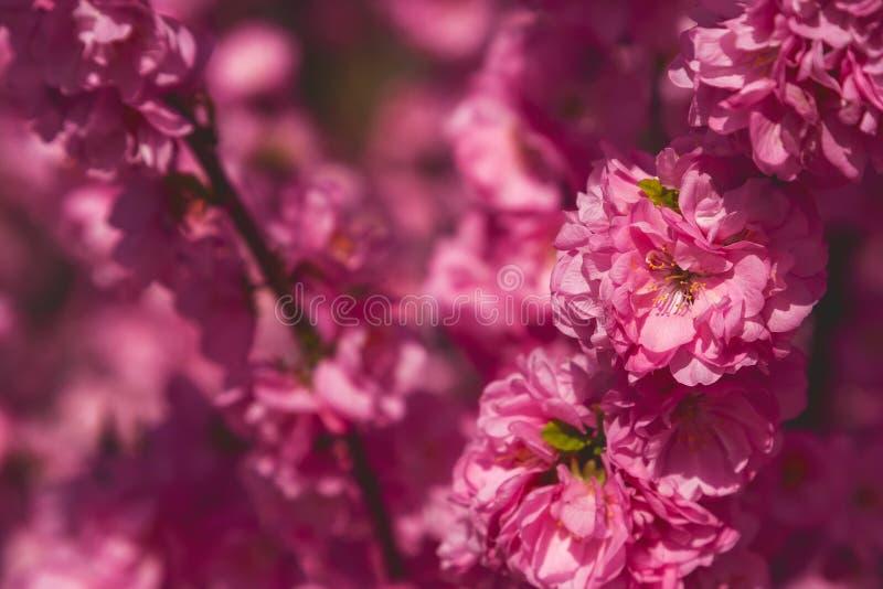 Sakura, flor de cerezo, cerezo con las flores Cherr oriental fotografía de archivo
