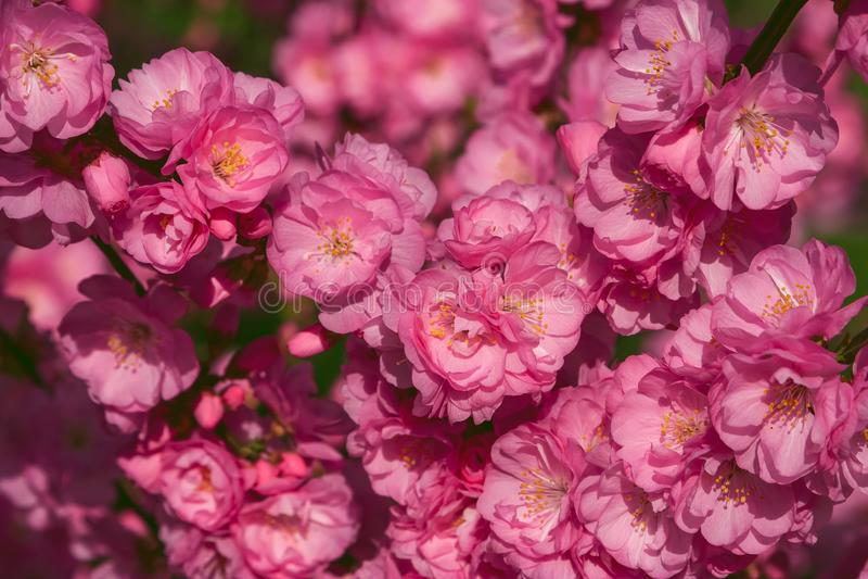 Sakura, flor de cerezo, cerezo con las flores Cherr oriental fotos de archivo libres de regalías