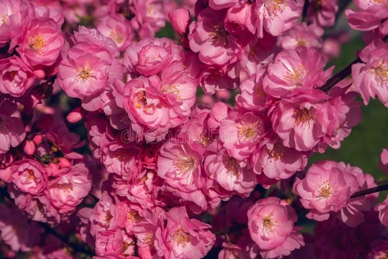 Sakura, flor de cerezo, cerezo con las flores Cherr oriental imágenes de archivo libres de regalías