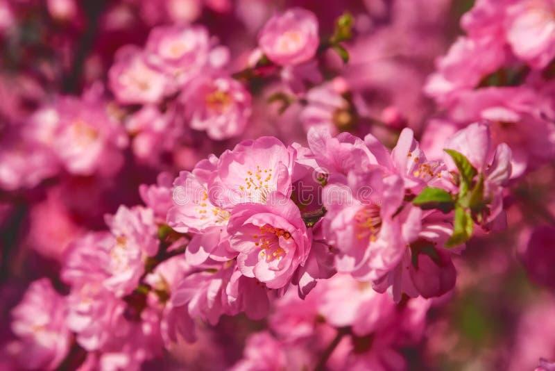 Sakura, flor de cerezo, cerezo con las flores Cherr oriental imagenes de archivo