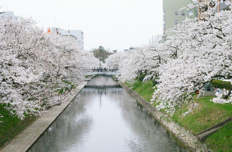 Sakura floreciente imagen de archivo