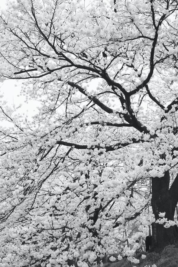 Sakura floreciente imágenes de archivo libres de regalías