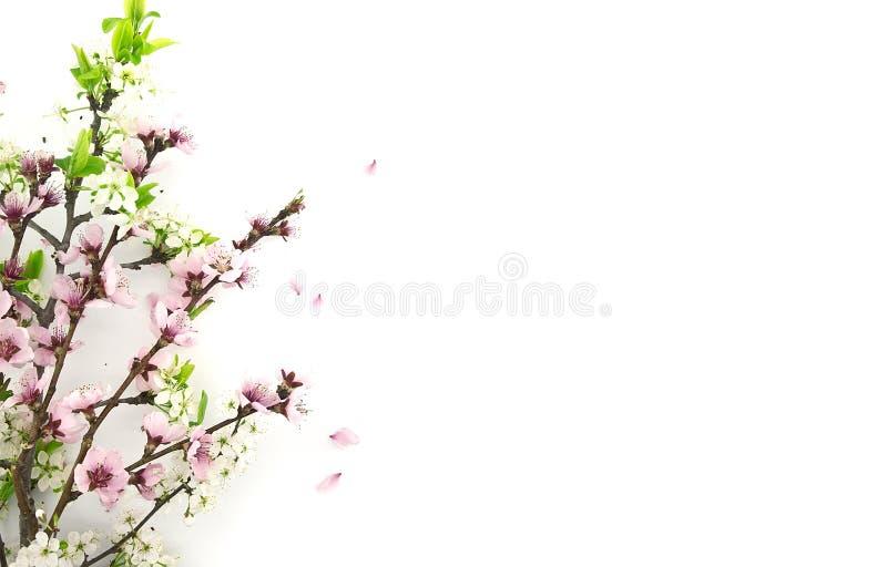 Sakura floreciente, primavera florece en el fondo blanco imagen de archivo libre de regalías