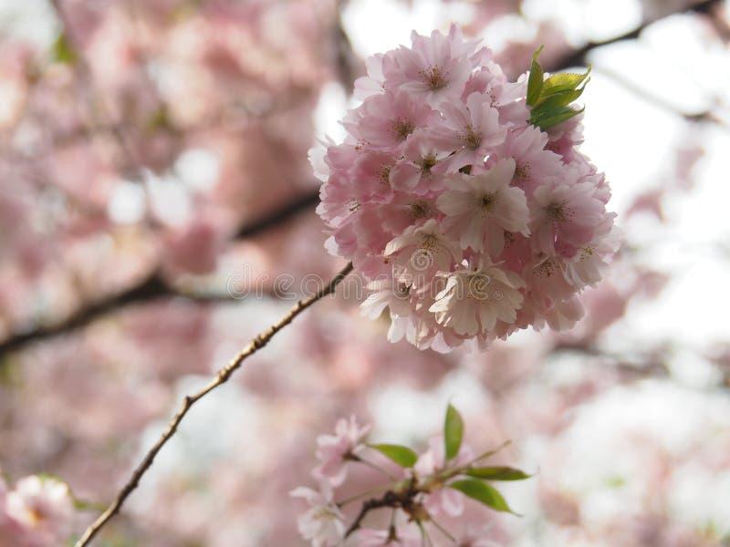 Sakura floresce em um ramo com flor cor-de-rosa imagem de stock