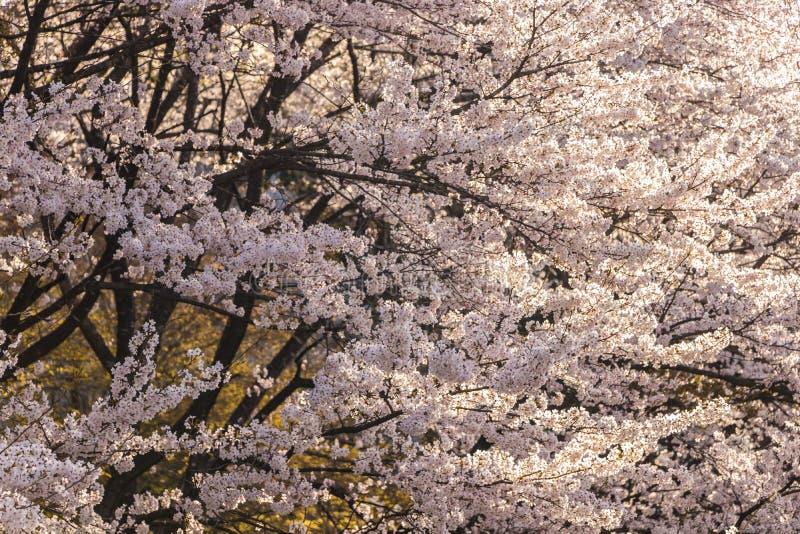 Sakura Flower image libre de droits