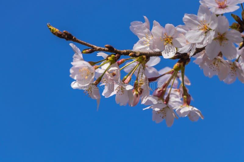 Sakura Flower photographie stock