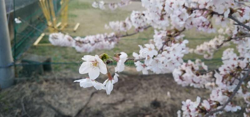 Sakura Flower stockfoto