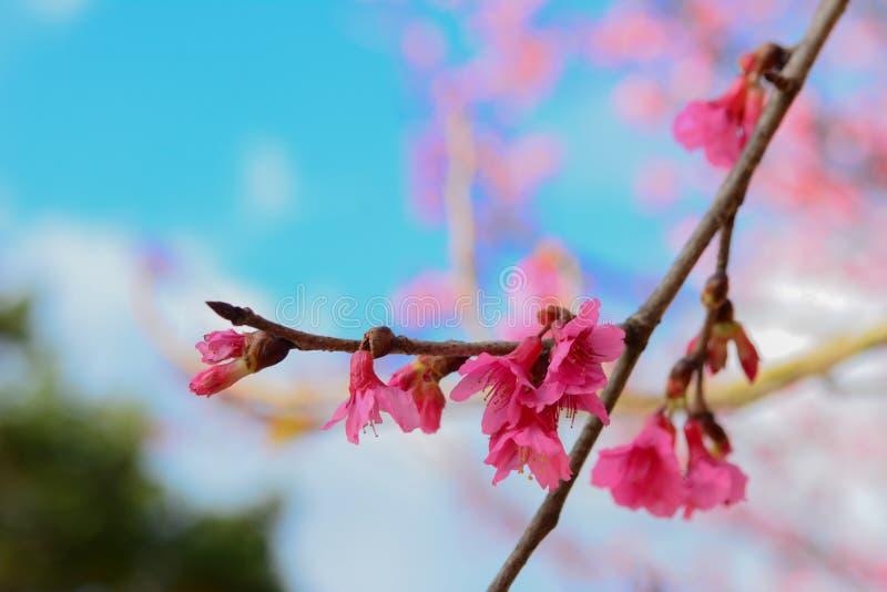 Sakura flower fotografia stock immagine di albero pianta for Sakura albero