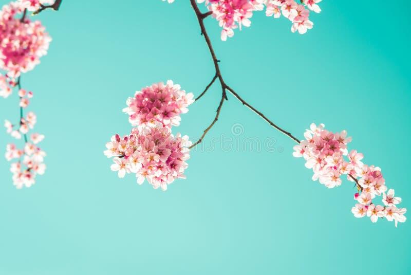 Sakura Flower or Cherry Blossom stock image