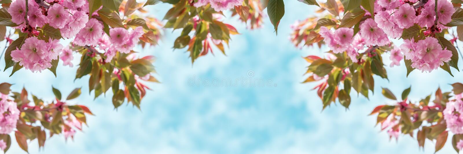 Sakura flower cherry blossom closeup over the sky panoramic. Greeting card template. Shallow depth. Soft toned. Spring nature back. Ground royalty free stock photo