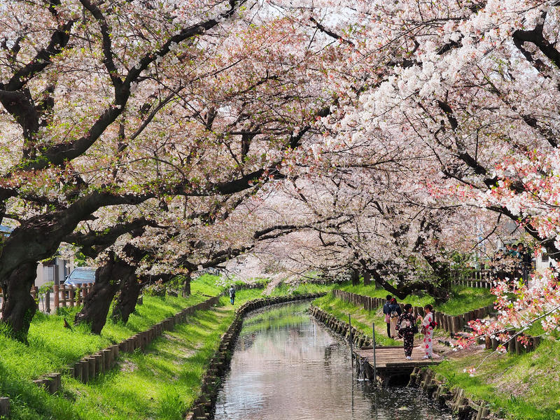 Sakura flower or cherry blossom royalty free stock photo