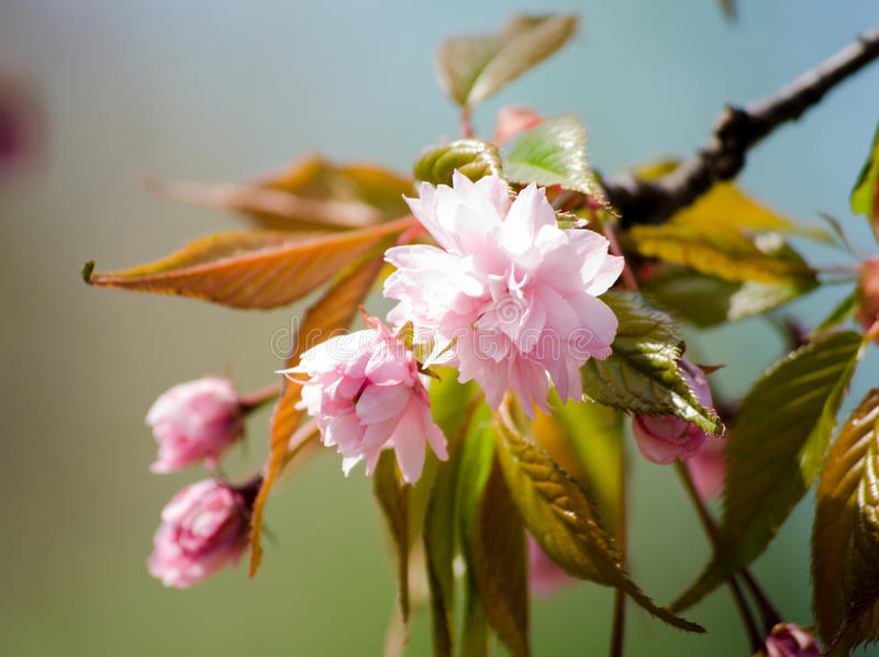 Sakura flower cherry blossom in spring time. Pink flowers. Soft toned.  stock image