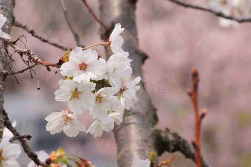 Sakura flower, Close up cheery blossom stock photography