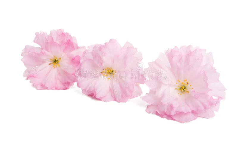 Sakura Flower Isolated fotos de stock royalty free