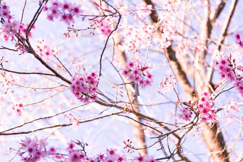 Sakura Flower met aardachtergrond in koel seizoen royalty-vrije stock foto's