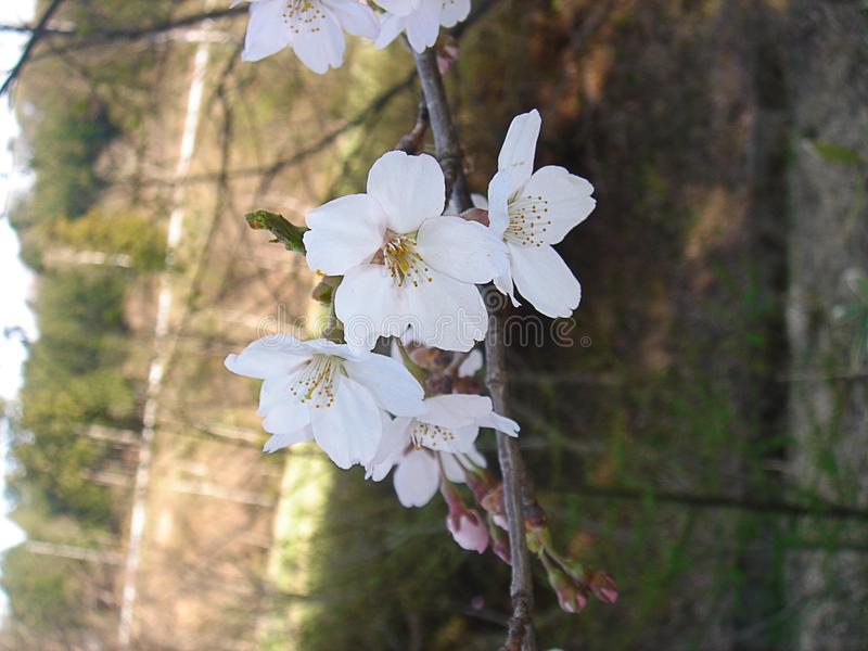 Sakura flower royalty free stock photography