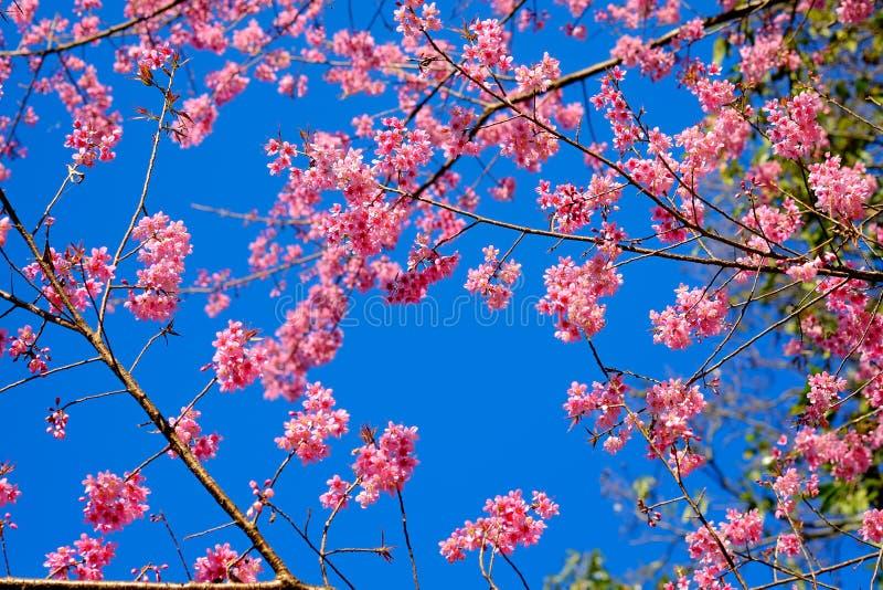 Sakura or Flower queen tiger. royalty free stock images