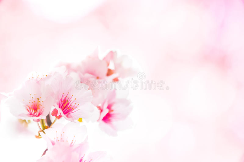 Sakura Flower Template fotografia stock libera da diritti
