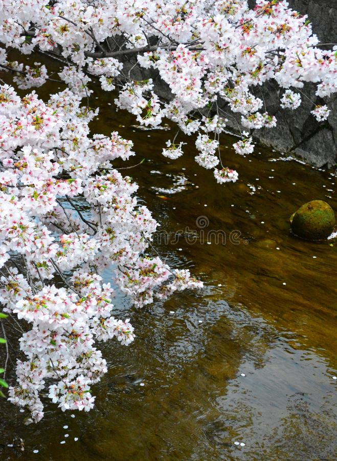 Sakura Flower Trees/Cherry Blossom door Watervijver, Japan stock foto