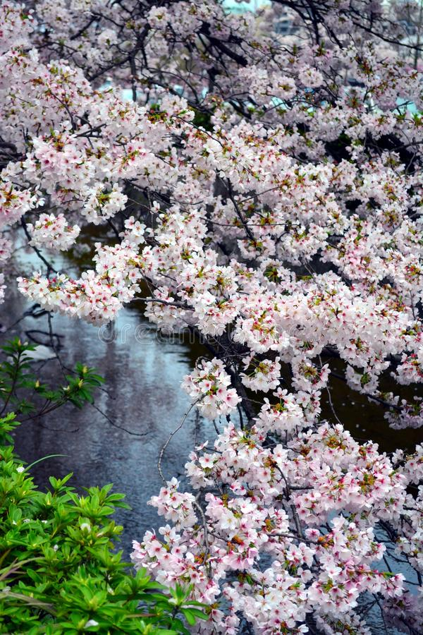 Sakura Flower Trees/Cherry Blossom door Watervijver, Japan royalty-vrije stock afbeeldingen