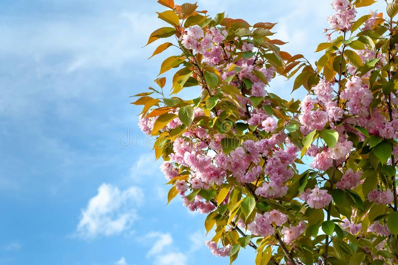 Sakura flowers against the blue sky. Branches of Japanese cherry with beautiful delicate pink flowers during the flowering period stock photography