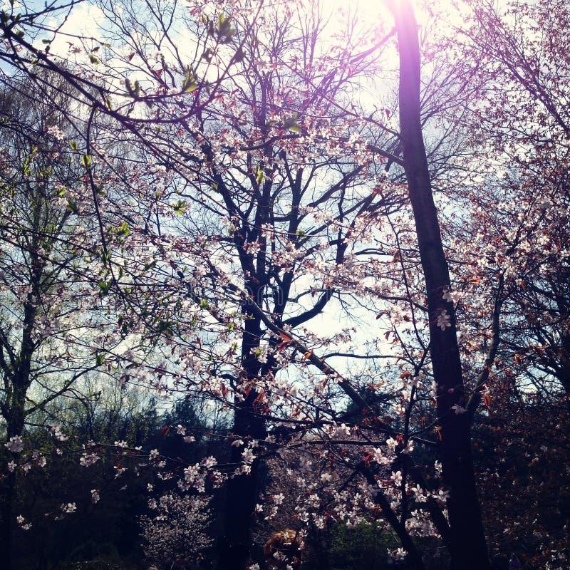 Sakura flowers in bloom. Aged photo. Cherry tree. royalty free stock photo