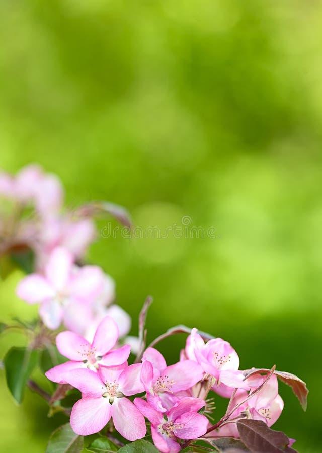 Download Sakura flowers blooming stock photo. Image of blur, floral - 24545874