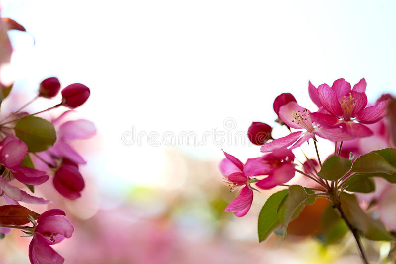 Download Sakura Flowers Blooming Royalty Free Stock Image - Image: 24545886