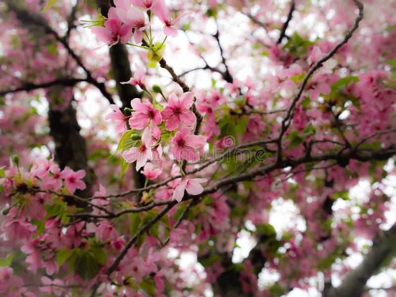 Sakura Flowers Blooming del rosa y blanca fotos de archivo libres de regalías