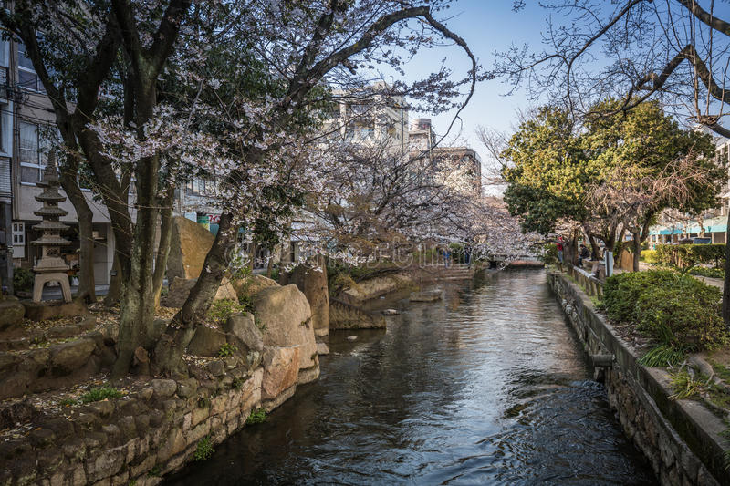 Sakura flowers over a small river with a blurred background of coastal paths under pink blossoming cherry trees royalty free stock images