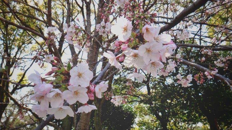 Sakura Flowers Tree fotos de stock