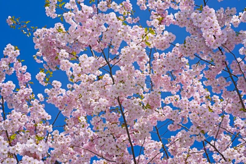 Sakura gałąź przeciw niebieskiemu niebu zdjęcia royalty free