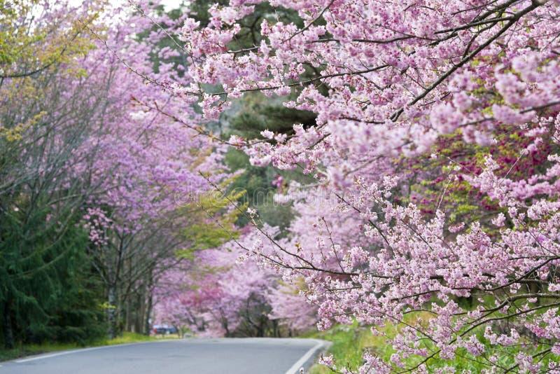 Sakura Garden hermosa en Taiwán foto de archivo
