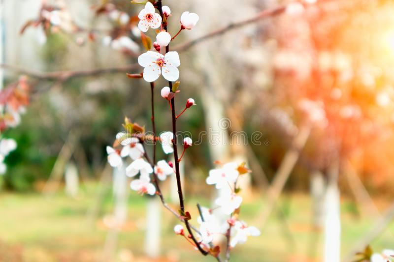 Cherry blossoms-sakura royalty free stock photos