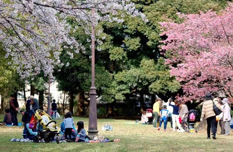 In Sakura Hanami, a popular leisure activity in spring, people have a picnic on the grassy ground. And admire beautiful cherry blossoms under Sakura trees on a royalty free stock photos