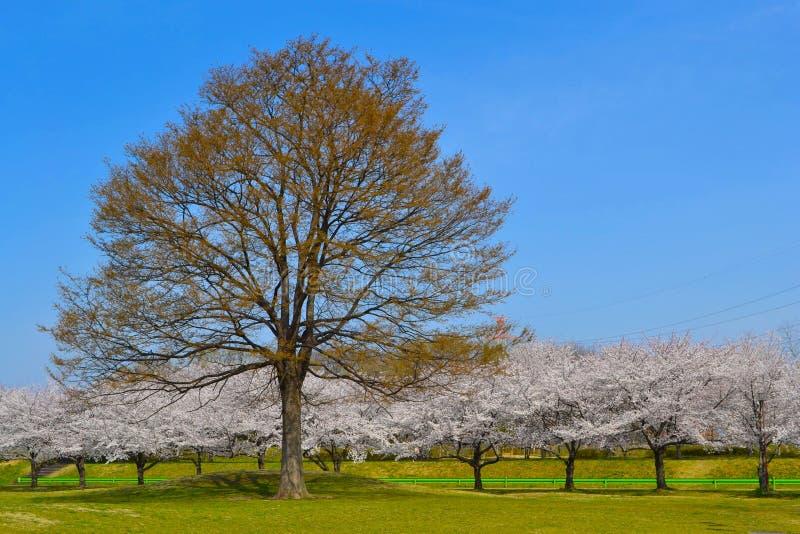 Sakura i duży drzewo obraz stock
